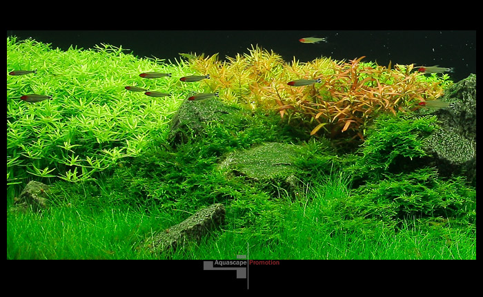 Ротала грин, дидиплис, людвигия, мох и элеохарис