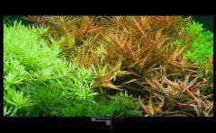 Ротала грин людвигия дидиплис рождественский мох