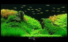 Родостомусы среди аквариумных растения