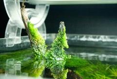 Аквариумный мох над водой