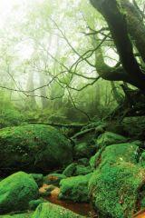 yaponiya udivitelnye lesa Na ostrove yakusima 10 558x839