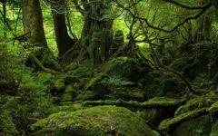yaponiya udivitelnye lesa Na ostrove yakusima 7 558x348