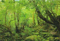 yaponiya udivitelnye lesa Na ostrove yakusima 12 558x378