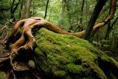 yaponiya udivitelnye lesa Na ostrove yakusima 11 558x373