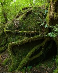 yaponiya udivitelnye lesa Na ostrove yakusima 4 558x697
