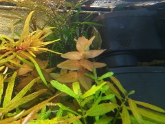 мои аквариумные растения 006