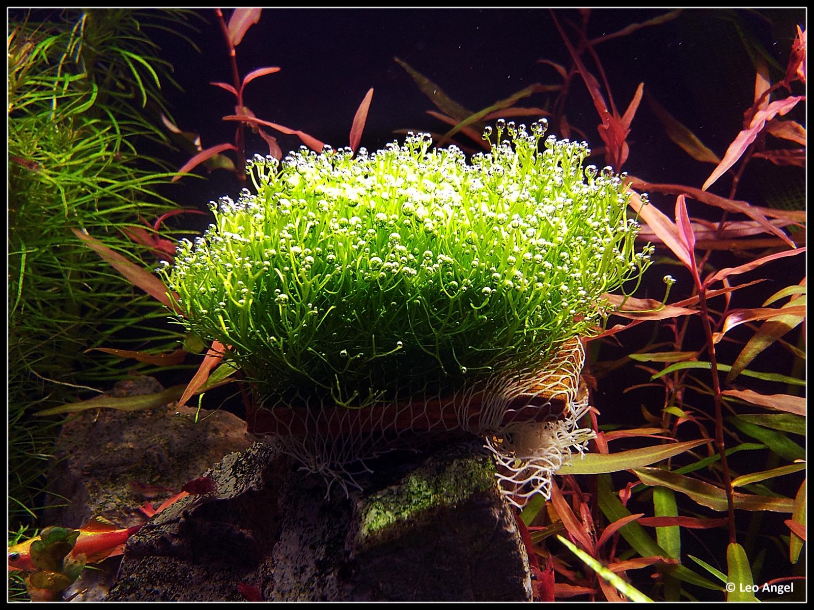 водоросли риччия фото бывает