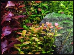 "Ludwigia sp. ""RUBIN"", Cuphea Analagoidea"