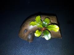 Bucephalandra sp. Bukit Kelam-Sintang