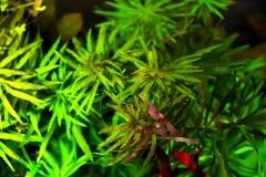 Limnophila aromatica зверху
