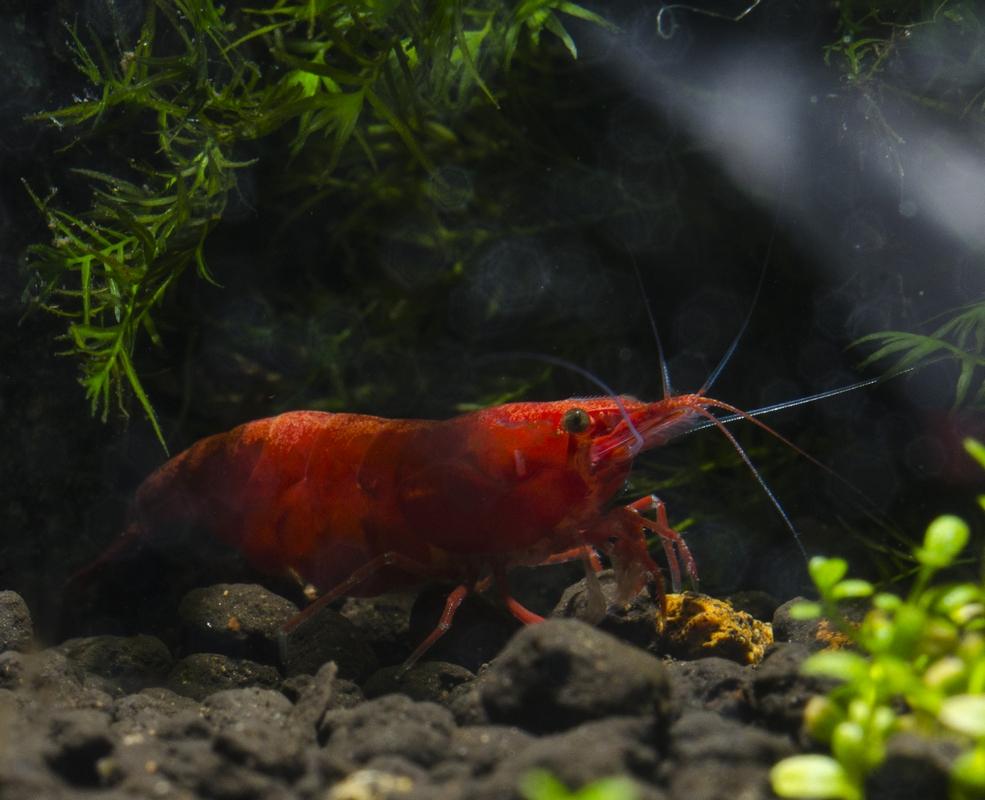 My shrimps