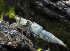 2 Blue Bolt Shrimp