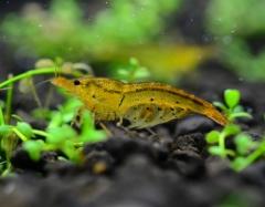 Pregnant Yellow Tiger Shrimp