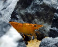 Tangerine Neocaridina