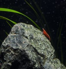 Red Cherry on the rock