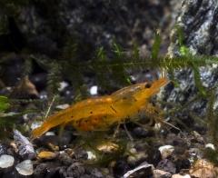 Yellow Tiger Shrimp