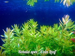 Rotala spec. `Coin Leaf`