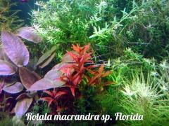 Rotala macrandra sp. Florida