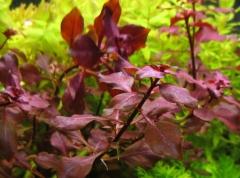Ludwigia palustris ''super red''